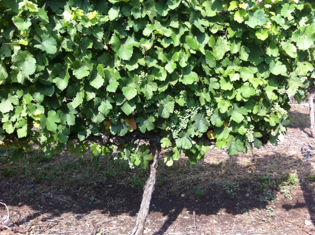 It's great that our Gewurztraminer block at the back of our property is vigorous (lots of shoots and leaves) because that ensures the clusters will not get too much sunlight--important for Gewurztraminer to retain its varietal characteristics