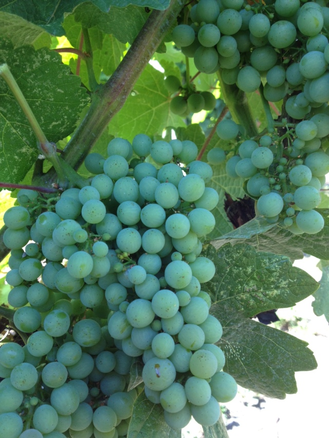No signs of colour change yet but Gewurztraminer is one of our latest varieties to change--strange that because it is one of the first to ripen.