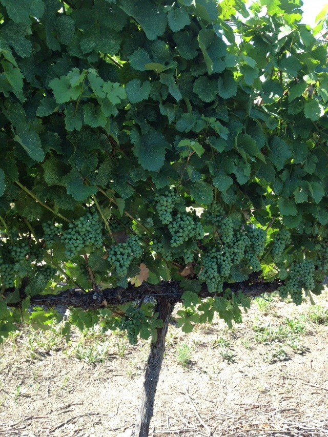 All around hot.  The vine will be going through big changes soon called version (colour change and sugar accumulation)
