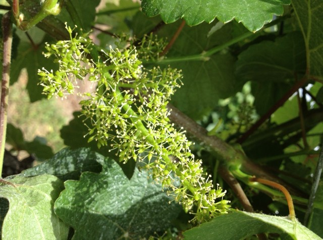 This picture was taken by Lindsey from our winery in my absence.  Looks like we're really in the midst of full bloom now!