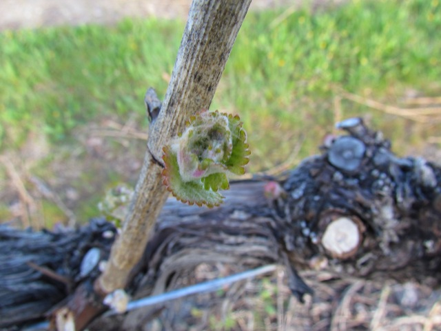 Little buds bursting out all over.  They are delicate and can be killed by frost right now, but our land on the Golden Mile Bench is no susceptible to frost.  Lucky!