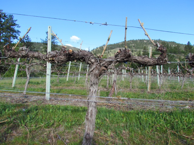 Bud break happened in the last week which is a full 2 weeks early for this block of Gewurztraminer on the Tinhorn Creek property behind my home.