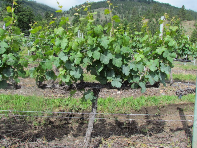 Shoots are still growing and the vine looks very healthy for what is turning out to be a wonderful spring 2013.