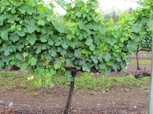 The growth is phenomenal in this block of Gewurztraminer mainly due to the early heat and now the rain.  We are seeing shoots come out from the side of the canopy as well (laterals).
