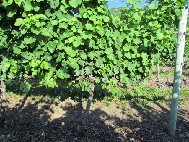 Unbelievable growth.  I know I keep saying that but 40C this weekend and the vines have added at least one foot of growth to them in the last couple of week.