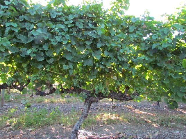 Another hot week of 30-35C temperatures!  We are going to be harvesting this vine, no doubt, well before the end of September.