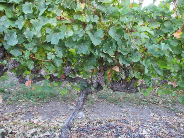 We had a ferocious hail storm that hit a small part of this Gewurztraminer block but only about 5% of the vines saw damage--and not enough damage not to harvest.  Our little vine just keeps chugging along.